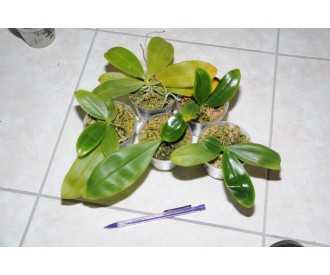Phalaenopsis oberhausen smart