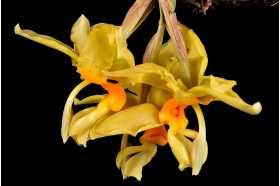 Grana Stanhopea graveolens
