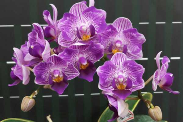 Phalaenopsis Sogo Vivien 'Sogo F858'