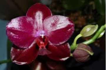 Phalaenopsis Sogo Reflex