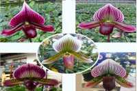 Paphiopedilum Susanville x maudiae