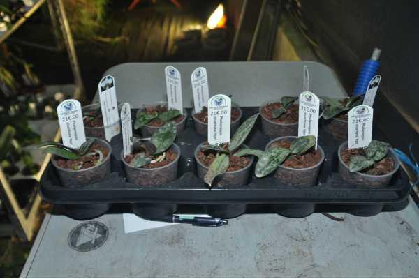 Phalaenopsis stuartiana 'tipo'