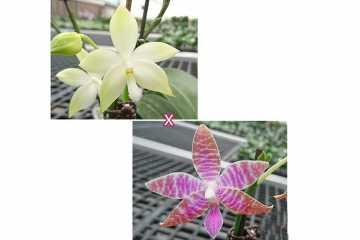 Phalaenopsis tetraspis 'Green' x lueddemanniana