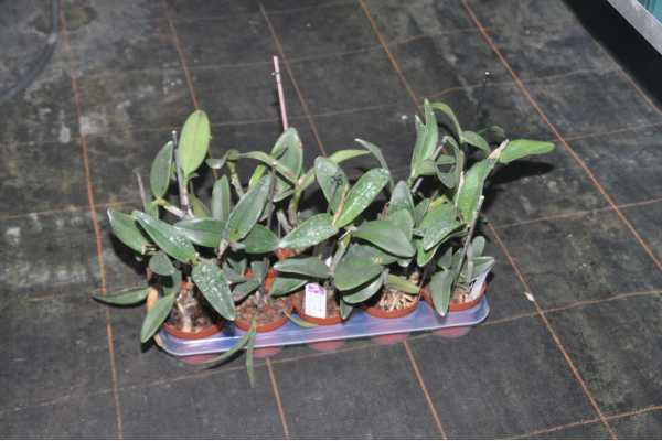 Cattleya Yuan Dung Sweet 'Dragon fruit'
