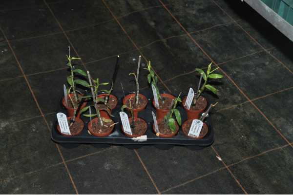 Dendrobium Raimbow Dance 'Hanamizuki'