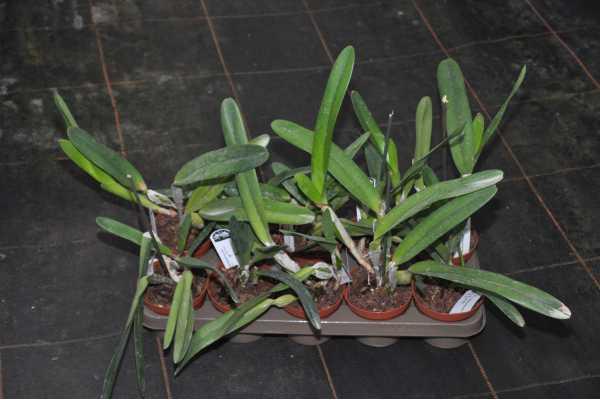 Cattleya purpurata var alba