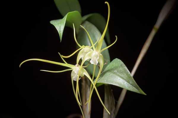 Dendrobium tetragonum var alba