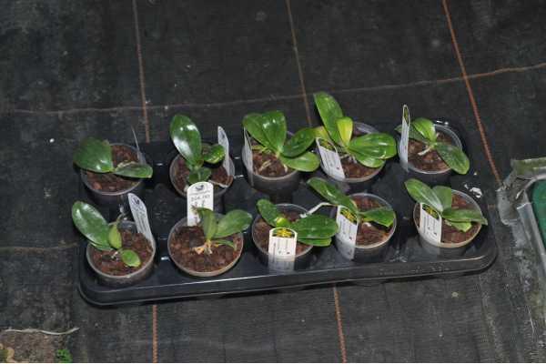 Phalaenopsis mannii var green