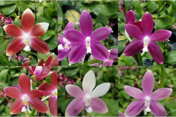 Phalaenopsis speciosa Red