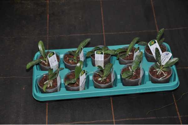 Phalaenopsis borneensis