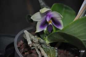 Phalaenopsis bellina var coerulea