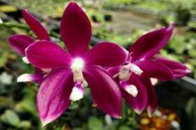 Phalaenopsis tetraspis Red