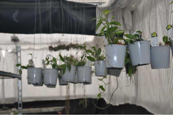 Vanilla planifolia variegata