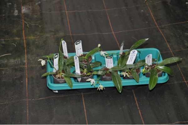 Phalaenopsis tetraspis var green