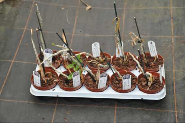 Dendrobium parishii var coerulea