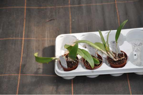 phalaenopsis lueddemanniana red