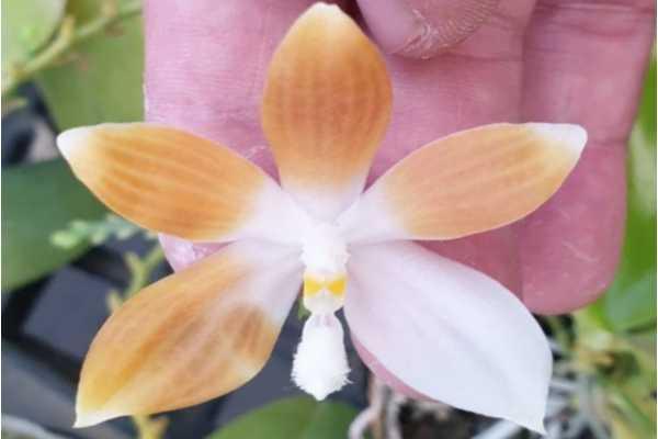 Phalaenopsis tetraspis var coffee