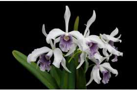 Laelia purpurata werkhauseri x Cattleya loddigesii coerulea