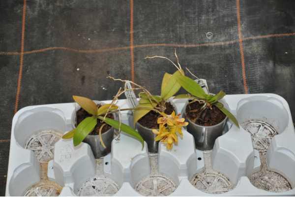 Phalaenopsis Tzu Chiang Orange 'ES'