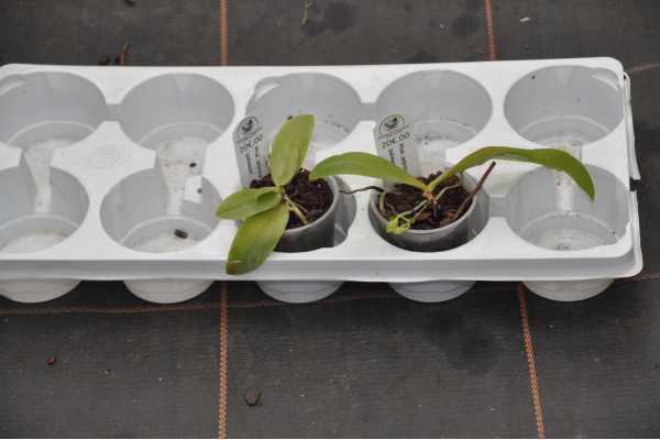 Phalaenopsis zebrina palawan