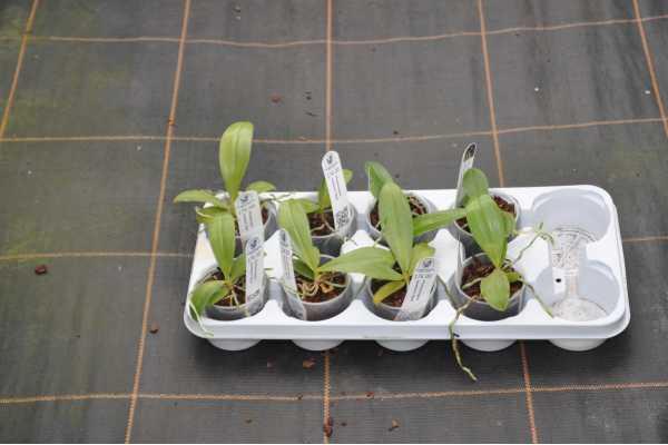 """Phalaenopsis bastianii """"Red"""""""