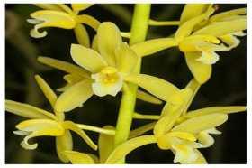 Cymbidium aloifolium var flava