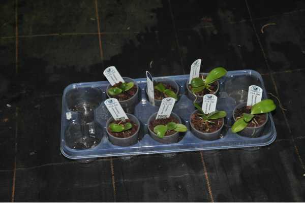 Phalaenopsis violacea indigo