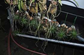 Tillandsia tenuifolia 'Emerald forest'