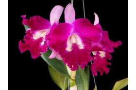 Cattleya Sangob Delight