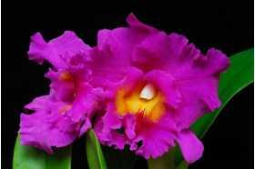 Cattleya Pink Empress