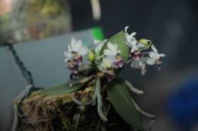 Phalaenopsis parishii