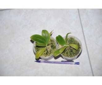Phalaenopsis violacea dark Red