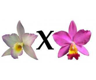 Flask 5 plants LC aloha case 'Hawaiian style' x C iwanagara apple Blossom