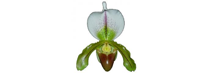 Paphiopedilum y Phragmipedium