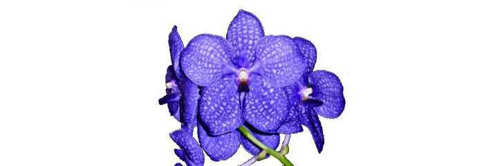 Vanda and allied kinds