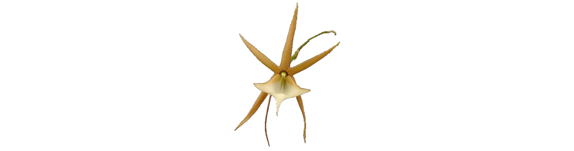 Angraecum, Aerangis, Aeranthes and related genera