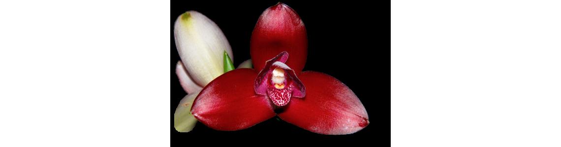 Anguloa, Lycaste, Bifrenaria, Neomoorea, Maxillaria et genres alliés