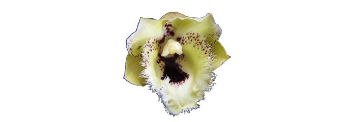 Catasetum, Clowesia, Cycnoches y géneros aliados