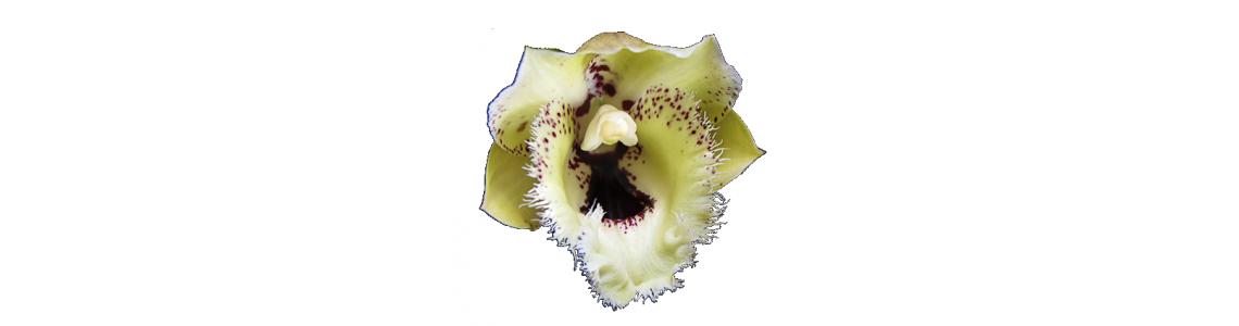 Catasetum, Clowesia, Cycnoches and Allied Genera