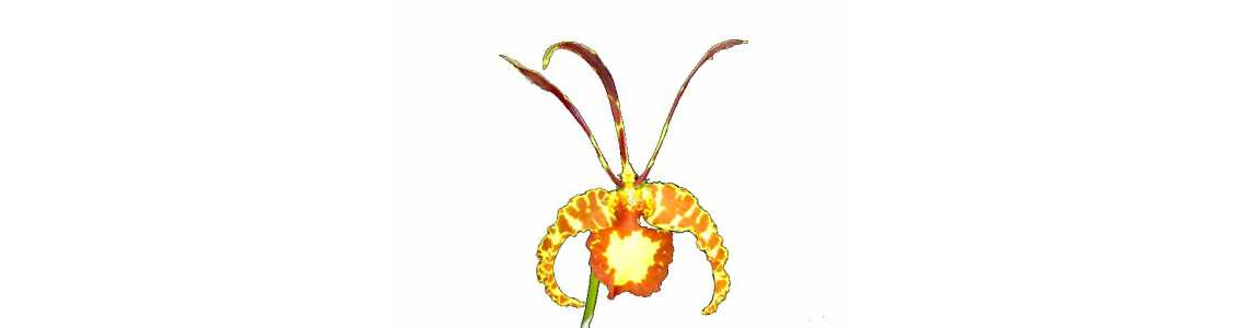 Odontoglossum, Oncidium, Brassia, Gomesa, Psychopsis and Allied Genera