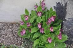 Cypripedium Pink Lady