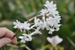 Dendrobium roseatum