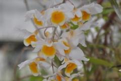 Dendrobium griffitanum x farneri