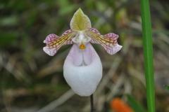 Paphiopedilum micranthum eburneum
