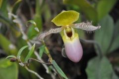 Paphiopedilum moquettianum