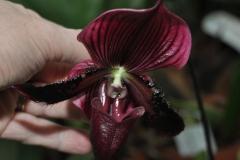Paphiopedilum Maudiae Red