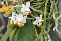 Phalaenopsis lobbii yellow