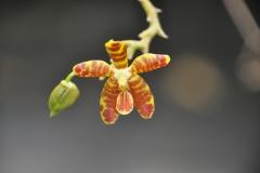 Phalaenopsis koodoo