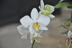 Phalaenopsis amabilis var aurea